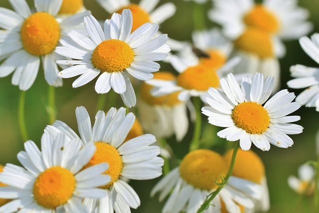 chamomile-benefits-side-effects